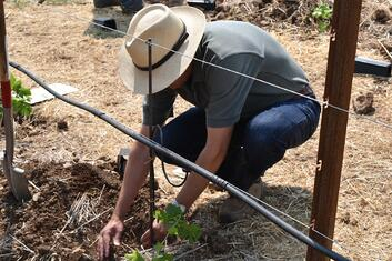 Planting vines 2